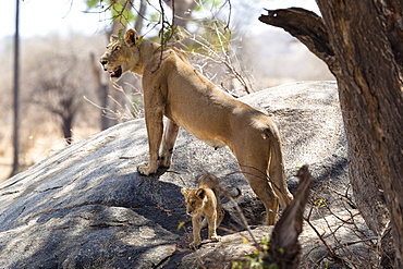 African Lion, female with cub, Panthera leo, Ruaha National Park, Tanzania, East Africa, Africa