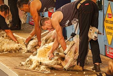 Sheep shearing competition, Masterton, North Island, New Zealand