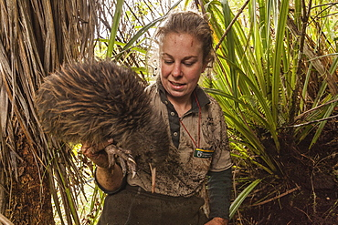 Kiwi caught by a DOC Ranger, dug out his burrow to change the transmitter, Tongariro National Park, North Island, New Zealand