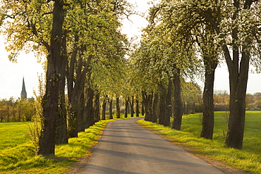 Allee of pear trees, Munsterland, North Rhine-Westphalia, Germany