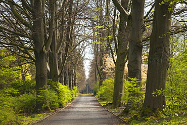 Allee of beech trees, Dortmund, North Rhine-Westphalia, Germany