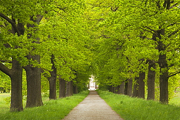Alley of oak trees, Nordkirchen castle, Munsterland, North Rhine-Westphalia, Germany