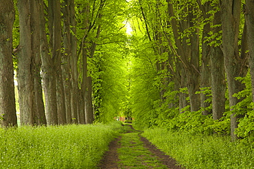 Alley of lime trees, Holsteinische Schweiz, Schleswig-Holstein, Germany
