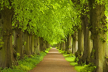 Allex of lime trees, Ploen castle gardens, Holsteinische Schweiz, Schleswig-Holstein, Germany