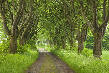 Alley of haw trees, near Kefferhausen, Thuringia, Germany