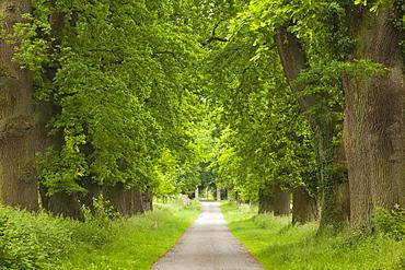 Alley of oak trees, Teutoburger Wald, North Rhine-Westphalia, Germany