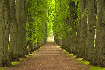Alley of lime trees, Bad Pyrmont, Lower Saxony, Germany