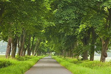Alley of maples, Reinhardswald, Hesse, Germany