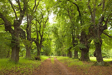 Alley of lime trees, Thuringia, Germany