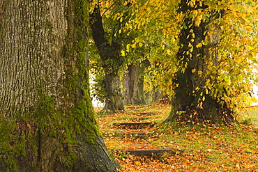 Alley of lime trees, Holzkirchen, Bavaria, Germany