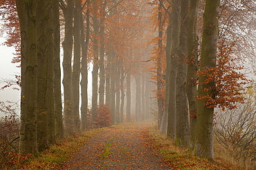 Alley of beech trees, Oldenburger Munsterland, Lower Saxony, Germany
