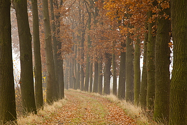 Alley of oak trees, Oldenburger Munsterland, Lower Saxony, Germany