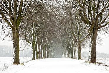 Alley of chestnut trees, Herten, North Rhine-Westphalia, Germany