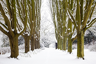 Alley of hornbeam, Dortmund, North Rhine-Westphalia, Germany