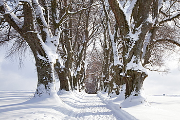 Alley of lime trees, Kurfuersten Allee, Marktoberdorf, Allgaeu region, Bavaria, Germany