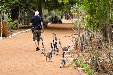 Ringtailed Lemurs following tourist, Lemur catta, Berenty Reserve, South Madagascar, Africa