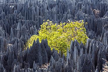 Rock formation with tree in the Tsingy-de-Bemaraha National Park, Mahajanga, Madagascar, Africa