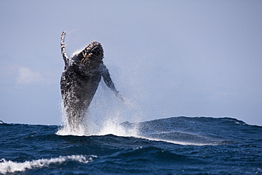 Breaching Humpback Whale, Megaptera novaeangliae, Indian Ocean, Wild Coast, South Africa