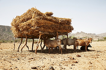 Herd of cattle under a shelter with hay, Dogon land, Mopti Region, Mali