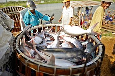 Iridescent shark breeding farm at river Mekong, near of Long Xuyen, An Giang Province, Vietnam