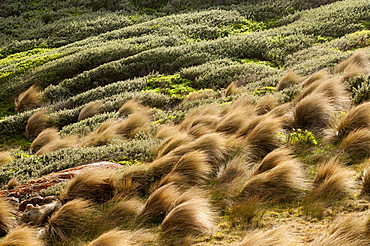 Strong wind in grass tussocks at Point Hicks, Croajingolong National park, Victoria, Australia
