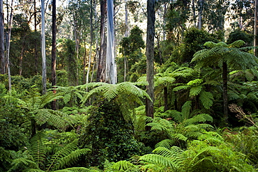 Lush forest in the Martins Creek Reserve, East Gippsland, Victoria, Australia