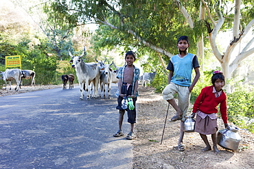Children with their cebu cattle herd on the way to Ranakpur Temple, Ranakpur, Rajasthan, India
