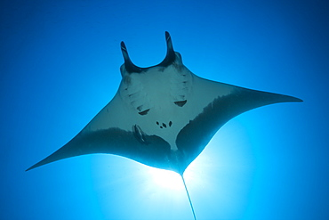 Manta, Manta birostris, San Benedicto, Revillagigedo Islands, Mexico