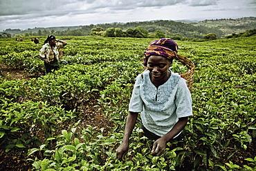 Women picking tea-leaves, Mount Mulanje region, Malawi, Africa