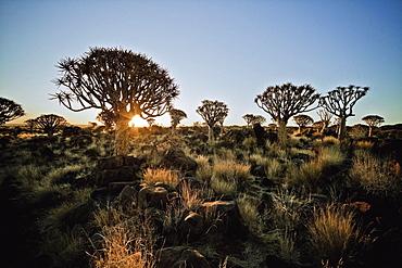 Quiver trees outside of Keetmanshoop, Namibia, Africa
