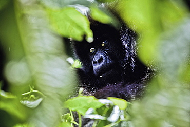 Young mountain gorilla hidden by green leaves, Volcanoes National Park, Ruanda, Africa