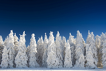 Snow covered trees in front of a deep blue sky, Schauinsland, near Freiburg im Breisgau, Black Forest, Baden-Wuerttemberg, Germany