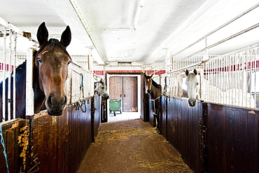 Horses in the stables at Gut Immenhof, known from the movies the Immenhof, Malente, Schleswig-Holstein, Germany