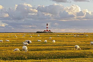 Sheep grazing in a field near Westerhaven lighthouse, Schleswig-Holstein, Germany