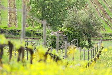 Olive tree, vineyard, Castelnuovo dellabate, Tuscany, Italy