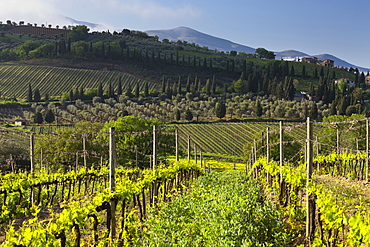 Wine growing near Castelnuovo Dellabate, Tuscany, Italy