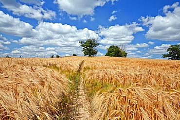 Field of barley and old oak trees near Krakow, Mecklenburg Western Pommerania, Germany