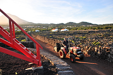 Viniculture along the southwest coast with Pico vulcano in the background, Ponta do Pico, Island of Pico, Azores, Portugal