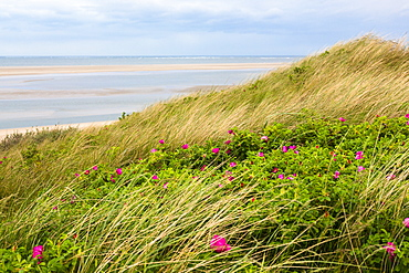 Dunes with Japanese roses, Rosa rugosa, Langeoog Island, North Sea, National Park, Unesco World Heritage Site, East Frisian Islands, East Frisia, Lower Saxony, Germany, Europe