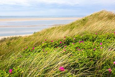 Dunes with Japanese roses, Rosa rugosa, Langeoog Island, North Sea, National Park, Unesco World Heritage Site, East Frisian Islands, East Frisia, Lower Saxony, Germany, Europe