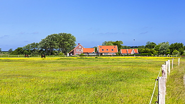 Horses on a paddock on Langeoog Island, North Sea, East Frisian Islands, East Frisia, Lower Saxony, Germany, Europe