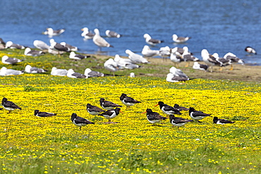 Oystercatchers, Haematopus ostralegus and Herring Gulls, Larus argentatus at lake Schloppsee, Langeoog Island, National Park, Unesco World Heritage Site, North Sea, East Frisian Islands, East Frisia, Lower Saxony, Germany, Europe