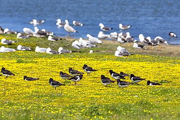 Oystercatchers, Haematopus ostralegus and Herring Gulls, Larus argentatus at lake Schloppsee, Langeoog Island, National Park, Unesco World Heritage Site, North Sea, East Frisian Islands, East Frisia, Lower Saxony, Germany, Europe