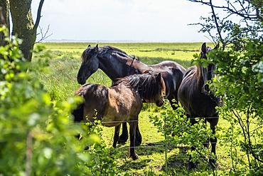 Horses on a paddock, Langeoog Island, North Sea, East Frisian Islands, East Frisia, Lower Saxony, Germany, Europe