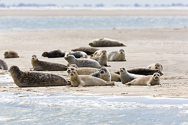 Common Seals resting on mud-flats, Phoca vitulina, Eastfriesian Islands, National Park, Unesco World Heritage Site, North Sea, Germany, Europe