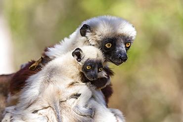Coquerel's Sifaka with baby, Propithecus coquereli, Ampijoroa Reserve, Madagascar, Africa