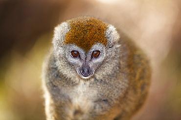 Grey bamboo Lemur, Hapalemur griseus, Madagascar, Africa