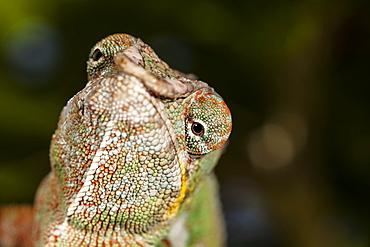 Panther Chameleon, Furcifer pardalis, East Madagascar, Madagascar, Africa