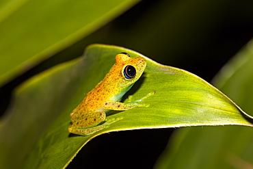 Green bright-eyed frog in the rainforest of Madagascar, Boophis viridis, Andasibe Mantadia National Park, East Madagascar, Madagascar, Africa