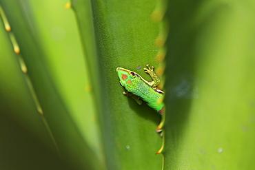 Lined Day Gecko, Phelsuma lineata bifasciata, Canal de Pangalanes, East Madagascar, Madagascar, Africa
